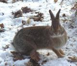 Eastern Cottontail Rabbit - 2