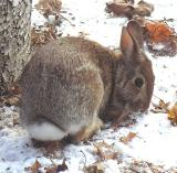 Eastern Cottontail Rabbit - 1