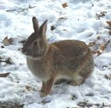 Eastern Cottontail Rabbit - 4