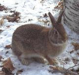 Eastern Cottontail Rabbit - 5