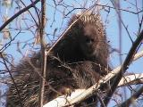 porcupine - view 3