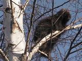porcupine - view 4