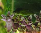 stinkbug feeding on milkweed