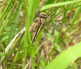 Gomphus exilis  with moth