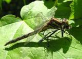 Gomphus exilis - eating damselfly - side