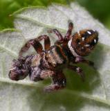 Phidippus clarus - female - with prey - view 2