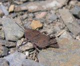 brown bird grasshopper - nymph - in slate