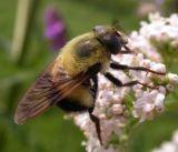 bee-mimic-fly-large.jpg