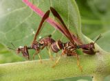mantidflies-mating-1-large.jpg