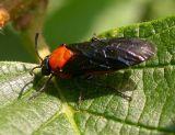 Arge pectoralis (?) - Birch Sawfly (?)