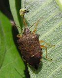 Podisus (?) stinkbug with Monarch Caterpillar