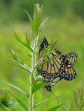 monarchs-pair-2-large.jpg