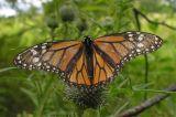 monarch-worn-wings-1-large.jpg