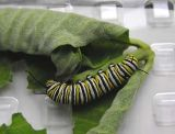 monarch-cat-28-07-06.jpg