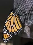monarch-eclose-large.jpg