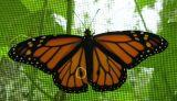 monarch-male-circle-small.jpg