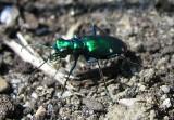 Six-spotted Green Tiger Beetle- Cicindela sexguttata