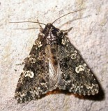 Melanchra adjuncta - 10292 - Hitched Arches