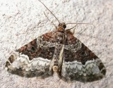 Euphyia intermediata - 7399a - Sharp-angled Carpet Moth