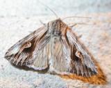 Agrotis venerabilis - 10651 - Venerable Dart Moth