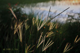 Grass at Marsh Edge