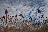 Winter Sumac Grove-2