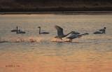 Swan Takeoff-4
