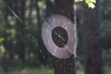 Master Weaver Swamp Spider