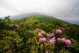 Janes Bald Rhododendrons