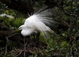 Egret on the Nest