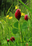 Red Clover 2