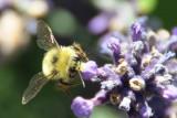 An old fashioned Bumblebee.JPG