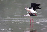 Black-winged stilt mating