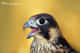 Young peregrine falcon close-up