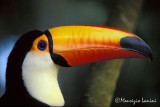 Toco toucan close-up