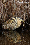 Bittern reflection , Tarabuso