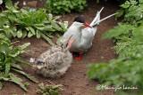 Sterna artica con pulcino , Artic tern and chick