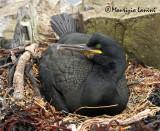 Marangone dal ciuffo al nido , Shag at the nest