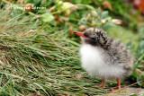 Pulcino di sterna artica , Artic tern chick