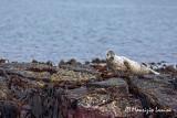 Foca grigia , Grey seal
