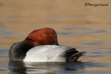 Moriglione , Common pochard sleeping time