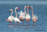 Fenicotteri , Greater flamingos