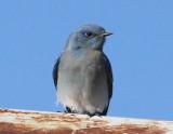 Bluebirds through Waxwings