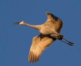 Rails, Gallinule, Coot & Cranes