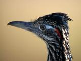 Pigeons, Doves Cuckoos & Allies