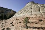 Pinyon Pine near Checkerboard Mesa