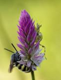 Nymph mantis