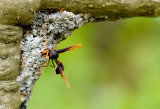 Red and black mud wasp