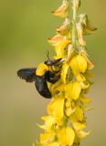 Japanes carpenter bee