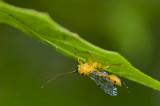 Scorpion wasp (Ichneumon)